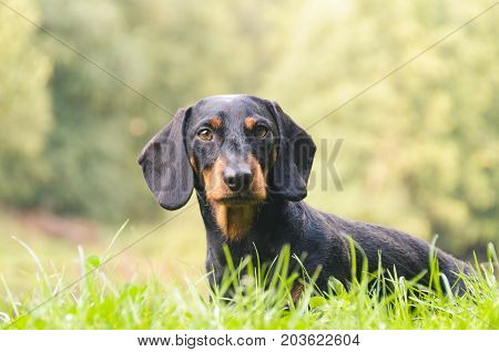 Portrait of a dachshund in the nature with blurred background.