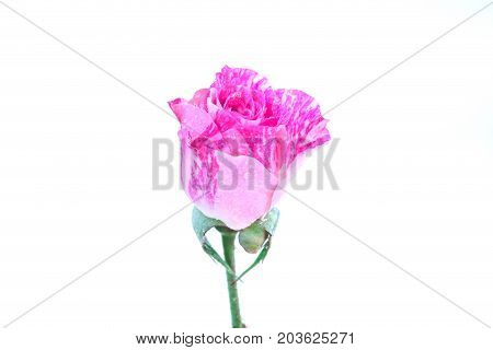 Colse Up Of Two-tone Pink Rose On White Background.