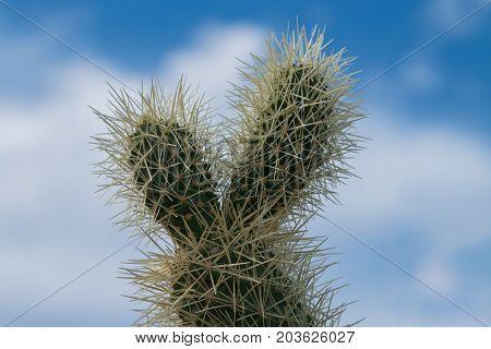 Cholla cactus in the blue sky, Arizona desert, USA.
