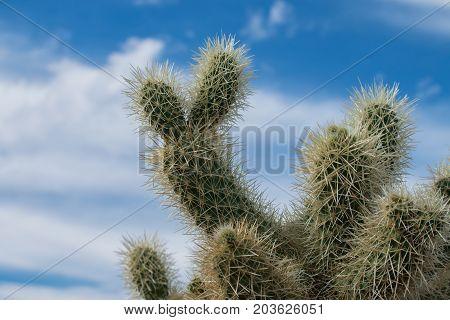 Cholla cactus in Arizona desert, Arizona, USA.