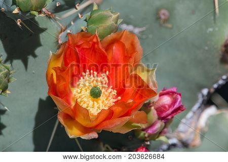 Close up of  orange Prickly Pear Cactus Flower