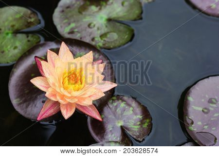 Yellow lotus flower floating on water background