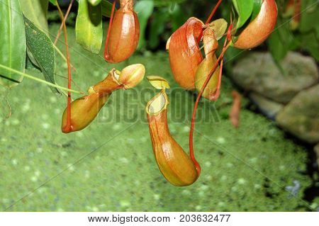 Insectivorous Plant Nepenthes