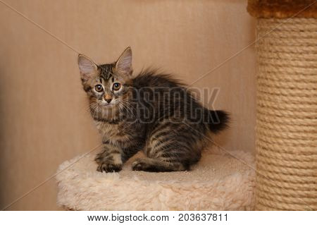 Lovely little kitten Bobtail sits on a shelf. Pets. Hypoallergenic cat breed. Portrait of a tabby cat.