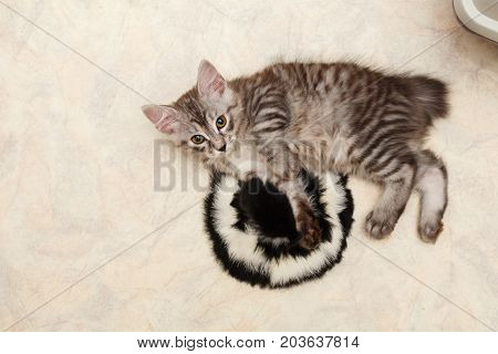 Cute little kitten is resting Bobtail. View from above. Pets. Hypoallergenic cat breed. Portrait of a striped and furry cat.