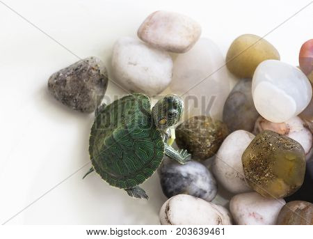Red Eared Terrapine - Trachemys Scripta Elegans In Aquarium On Stones. White Background. Selective F