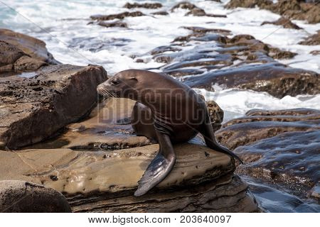 California Sea Lion Zalophus Californianus Sunning On The Rocks