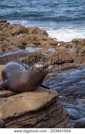 California Sea Lion Zalophus Californianus Sunning On The Rocks