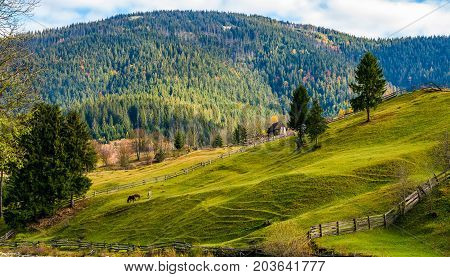 Spruce Trees On Grassy Hills In Autumn Mountains