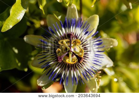 Detail of a common passion flower (Passiflora caerulea)