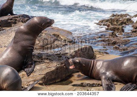 Arguing California Sea Lion Zalophus Californianus