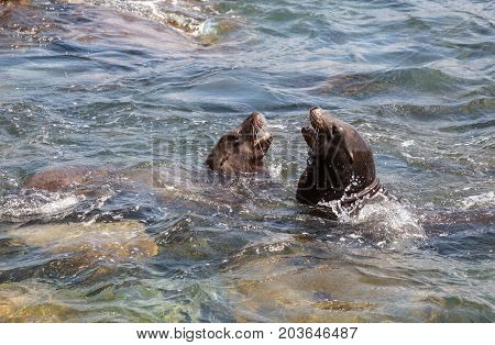 Swimming California Sea Lion Zalophus Californianus