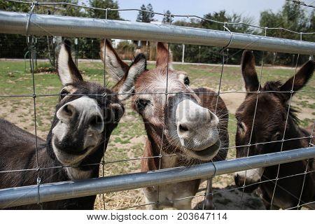 Three Mediterranean donkeys looking through the fence