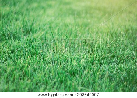 Green grass of lawn with the natural background.