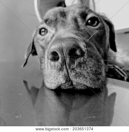 Lonely brown Labrador retriever are waiting for his owner. Black and white. Gray scale.