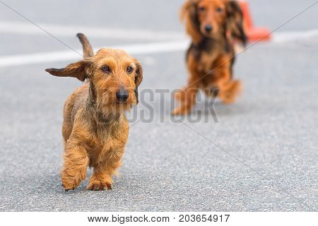 Terrier small dog runs along the asphalt road, behind the second dog is out of focus. Space under the text. 2018 year of the dog in the eastern calendar Concept: parodist dogs, dog friend of man, true friends, rescuers.