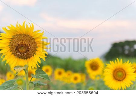 Sunflower with sunflower field on the morning sunrise