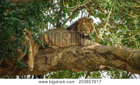 Detailed view of Lion with mane taking a nap on a tree branch, looking at camera