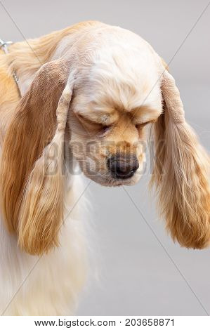 American Cocker Spaniyel head with large drooping ears, close-up. Space under the text. 2018 year of the dog in the eastern calendar Concept: parodist dogs, dog friend of man, true friends, rescuers.