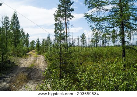 a coniferous forest, a forest shore, a river bank in the taiga, a road in a coniferous forest.