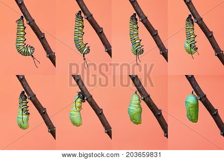 Monarch butterfly pupation metamorphosis from caterpillar to chrysalis.