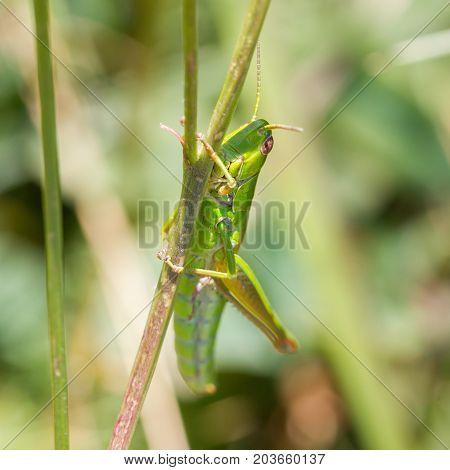 Grasshopper In A Garden In Austria