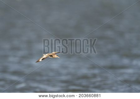 Willet glowing in late afternoon sun while gliding low over water