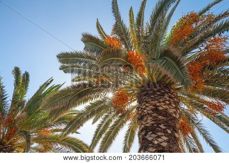 Date Palm Trees With Edible Sweet Fruits