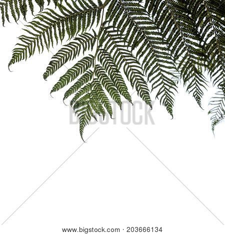 Ponga Or Silver Tree-fern Leaves Isolated