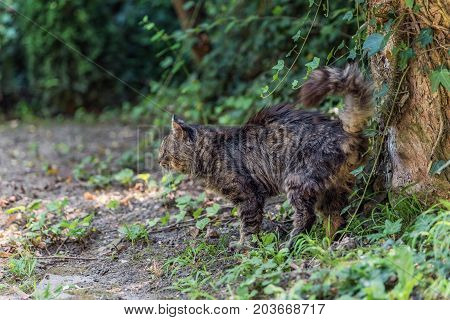 Adorable fluffy tabby male cat marking its territory in the forest. Blurred and bokeh background.