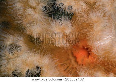 Macro Picture of Orange Plumose Anemone in Pacific Northwest Ocean. Picture taken in Porteau Cove British Columbia Canada.