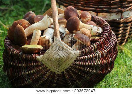 Basket full of boletus mushrooms in forest .