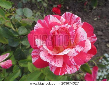 White-red rose in the Park in Sunny day on background of leaves.