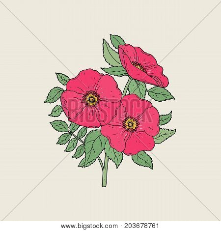Detailed drawing of beautiful dog roses growing on stem with leaves. Pink blooming flowers hand drawn in elegant antique style. Part of gorgeous wild flowering shrub. Botanical vector illustration