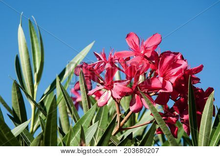 The red flower of the oleander against the sky on the island of Corsica
