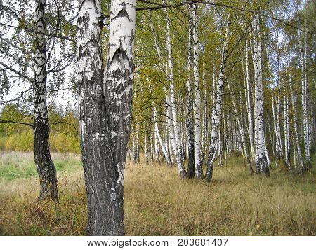 Autumn landscape with beautiful birch trees close up