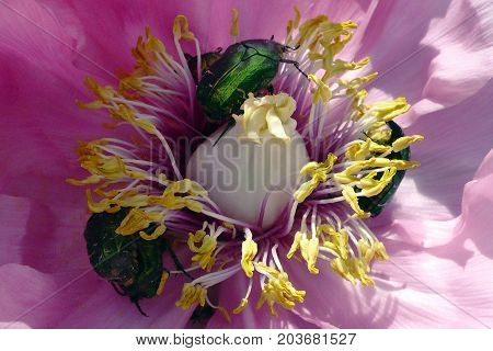 Group of green beetles insect rose chafer (cetonia aurata) inside the flower poster