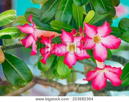 Pink bignonia flowers Azalea flowers Beauty in nature.