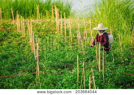 Udonthani Thailand - December 9 2012: Un-identified woman farmer spraying insecticide in vegetable farm in rural of Thailand