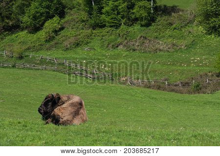 Large adult American buffalo or bison lying on green prairie grass.