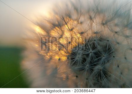 Close-up view of a dandelion blowball against the sunset on green background in a late summer evening