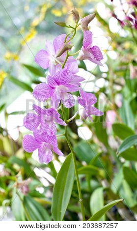 Beautiful hybrid dendrobium orchid flower branch on the blurred tropical forest background