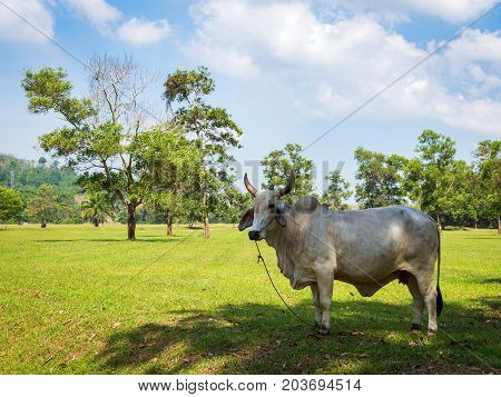 White Cow Grazing In A Fresh Green Field In Shadow Of Tree