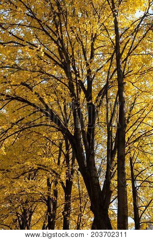 Majestic high linden trees with bright yellow autumn leaves. Bottom view.