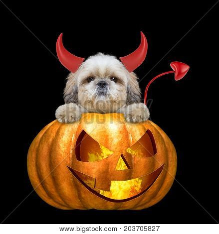 halloween pumpkin witch cute shitzu dog - isolated on black background