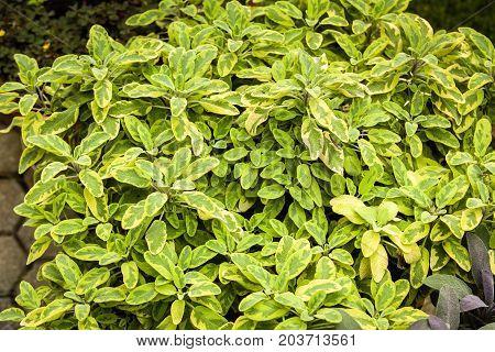 Herbs Used In The Kitchen: Sage (salvia Officinalis Aurea)