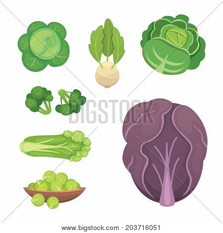 Set vector Cabbage and Lettuce. Vegetable green broccoli, kohlrabi, other different cabbages