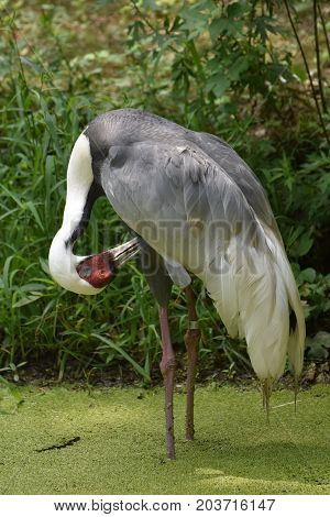 White naped crane standing in shallow algae covered pond.