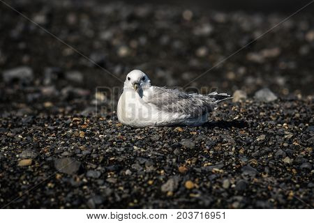 Seagull seeping on volcanic ash in Iceland on a sunny day