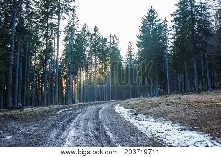 Empty forest mud road through dense woodland of coniferous forest sun rays protruding the trees. Forestry timber and lumber industry ecology natural environment and biomass concept.